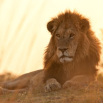 Picture Shows: As the sun goes down, a male lion is resting.